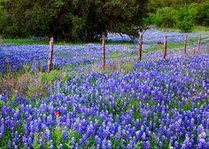 Hill Country Heaven - Texas Bluebonnets Wildflowers Landscape ...