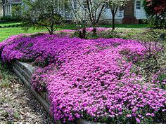 photo Today's flower of the day is Pink Creeping Phlox. This ground cover phlox is loaded with tiny pink flowers in early spring. Garden Shrubs, Garden Pests, Lawn And Garden, Inexpensive Landscaping, Backyard Landscaping, Landscaping Ideas, Colorado Landscaping, Creeping Phlox, Ground Cover Plants