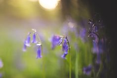 #bluebells #woodland #spring #prints #artist #art #giclee #backlighting #flowers