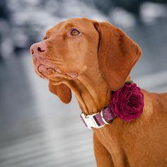 Vizsla Puppies, Dogs And Puppies, Vizsla Dog, Rhodesian Ridgeback, Weimaraner, Hungarian Vizsla, Pet Style, Dachshund Dog, Dachshunds
