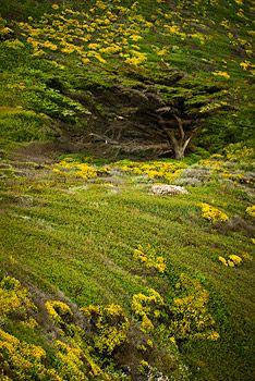 Wind blown cypress along the Big Sur coast, California