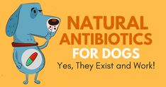 most powerful all-natural antibiotic, the best methods to produce as well as enhance our immune system and also fight versus virus Natural Antibiotics For Dogs, Yeast In Dogs, Urinary Tract Infection, Pet Health, Dog Friends, Dog Life, Dog Lovers, Nature, Immune System