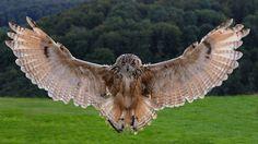 by Dietmar Möhle on Owl Skull Tattoos, Mens Owl Tattoo, Owl Photos, Owl Pictures, Owl Tattoo Chest, Penguin World, Mini Mundo, Brust Tattoo, Owl Wallpaper