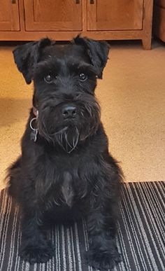 Find Out More On Energetic Miniature Schnauzer Puppies Personality Black Schnauzer, Giant Schnauzer, Schnauzer Puppy, Schnauzer Grooming, Pet Loss Grief, Puppy Room, Teddy Bear Puppies, Black Russian Terrier, Miniature Schnauzer Puppies