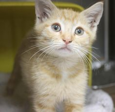 ADOPTED>Intake: 10/14 Available: Now  NAME: Jet  ANIMAL ID: 33736949  BREED: DSH SEX: Neutered Male  EST. AGE: 7 weeks  Est Weight: 2 lbs Health: Came in with a hernia that we repaired at time of neuter-Combo neg  Temperament: Friendly ADDITIONAL INFO:  RESCUE PULL FEE: $35