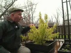 Sorbaria sorbifolia Sem - great for gardens, and containers too! - YouTube