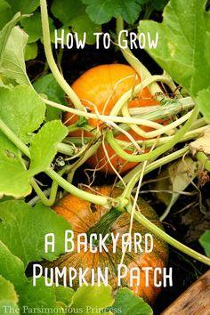 33 DIY Gardening Ideas for Fall Best Garden Ideas for the Fall - Grow a Backyard Pumpkin Patch - Coo Home Grown Vegetables, Organic Vegetables, Growing Vegetables, Veggies, Pumpkin Garden, Autumn Garden, Pumpkin Plants, Diy Gardening, Organic Gardening