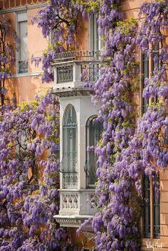 Beautiful Wisteria in Turin, Italy Monuments, Beautiful World, Beautiful Places, Italian Flowers, Turin Italy, Italian Garden, Flowering Vines, Bougainvillea, Balcony Garden