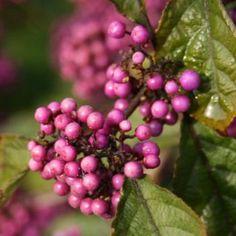 Callicarpa bodinieri Profusion - Petit arbuste aux délicates baies violet intense. #jardin #plante #fleur #rose #jardinrose #pinkgarden #pink #garden #promessedefleurs