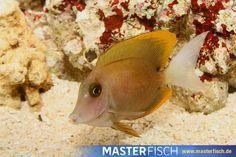Tominis Borstenzahndoktor -  - Aquarientiere auf MasterFisch online kaufen Fish, Pets, Animals, Types Of Animals, Animales, Animaux, Pisces, Animal, Animais