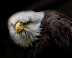 Aguila enfadada!!!