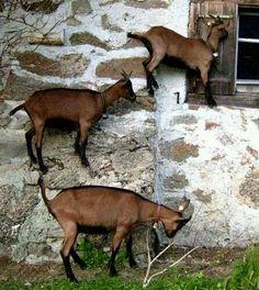 Goats climbing a house.
