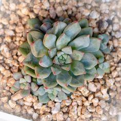 Echeveria 'Subcorymbosa Lau 030' 蓝宝石 2019-03-27 #succulents #多肉植物 #多肉 #echeveria