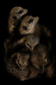 Meerkat Family in a Burrow  Suricate dream by Horus Nikopol ᗓ on 500px