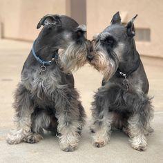 Miniature schnauzer siblings.