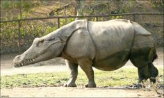 This is one I would not want to run into anywhere!  Rhino Crocodile