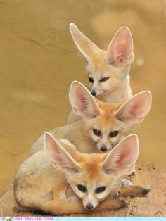 """animalworld: """" Tower of FENNEC FOXES - by request Vulpes zerda ©Joachim S. Müller The fennec fox (Vulpes zerda) is a small nocturnal fox found in the Sahara of North Africa. Its most distinctive feature is unusually large ears. The name """"fennec"""". Nature Animals, Animals And Pets, Baby Animals, Funny Animals, Cute Animals, Strange Animals, Wild Animals, Desert Animals, Zorro Fennec"""