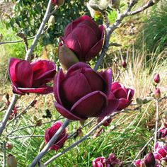 Buy Fruit Trees Vegetable Seeds, Flower Seeds, flowering trees and fruit trees and Rose Trees online Deep Purple Black Magnolia Yulan Tree Flower Tulip Tree Seeds - Quantity : 10 pcs Black Tulips, Black Flowers, Cut Flowers, Magnolia Trees, Magnolia Flower, Home Garden Plants, Garden Trees, Balcony Plants, Balcony Garden