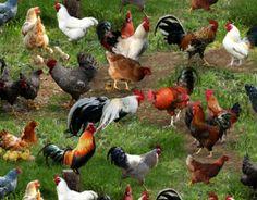 Farm Animals - Chickens - Green - Elizabeth's Studio http://www.fondantfabrics.co.uk/online-fabric-shop/prod_3496400-Farm-Animals-Chickens-Green-Elizabeths-Studio.html