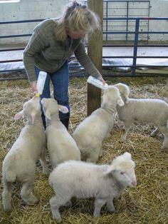 Bottle Feeding Baby Lambs - Farm Dreams
