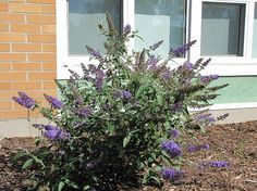 Butterfly Bush Buddleia Nanho Blue is loaded with 4- to 6-inch panicles of mauve blue flowers with yellow centers. It has an extremely long bloom time, is easy to grow, grows quickly, is deer resistant, and, as the name suggests, it attracts butterflies. Butterfly Bushes grow in virtually any soil and can be planted as a hedge, as a specimen or in containers. Nanho Blue has deep blue flowers behind silver to grey foliage and can be cut for flower arrangements