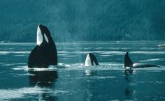 killer whales in the wild.