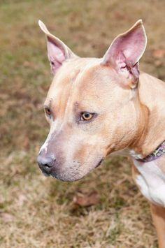 Sadie, Sadie, lovely lady.  This girl's a two-year-old charmer who's on the smaller side.  She wants to be sure we tell you that she's special, a blue fawn pit, and we think you'll be fawning over Sadie once you meet her.  Sadie is particular about...
