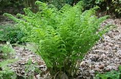 dryopteris filix-mas - Google Search