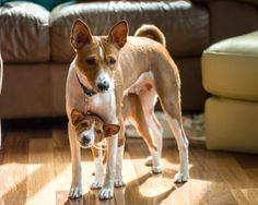How To Make Puppy Training An Easy Process. Dogs need a commitment from you. All dogs need training to know what is acceptable be Basenji Puppy, Pet Puppy, Pet Dogs, Doggies, Terrier Breeds, Dog Breeds, Animals And Pets, Cute Animals, Save A Dog
