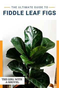 Is your fiddle leaf fig dropping its leaves?! Find out why, and what to do about it in this post about fiddle leaf fig plant care! Make sure you know exactly what this plant wants, so you can keep it happy for years to come! Indoor Fig Trees, Best Indoor Plants, House Plants Decor, Plant Decor, All About Plants, Apartment Plants, Fiddle Leaf Fig Tree, Low Light Plants, Bedroom Plants