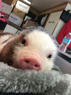 pet pig pen -- Click Visit link above for more details Cute Baby Pigs, Cute Baby Cow, Cute Piglets, Cute Babies, Cute Little Animals, Cute Funny Animals, Little Pigs, Funny Animal Pictures, Pig Pics