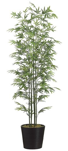 Bamboo Tree Potted 7ft
