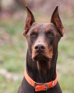AKC Registered Doberman puppies for sale - Baptist Ridge Dobermans ----this is the daddy of our just born puppy---sire name: Red Baron!