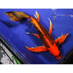 9 5 blue shusui butterfly fin live koi fish pond garden for Live pond fish for sale