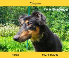 Ilfracombe resident Herbie is an affectionate boy who loves fuss and cuddles from adults and older children. He is a bit nervous and is frightened of loud noises, young children and other dogs. Herbie likes to be groomed and to have a nice run around in a quiet and secure place. He is always happy to see his owner when they come home!