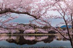 Mirando al mundo con sentimientos: Sakura (fotografías de Hidenobu Suzuki)