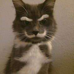 Awesome mustache and eyebrow cat