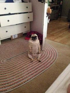This pug who successfully turned into a little gentleman. | The 38 Most Majestic Pugs Of 2014