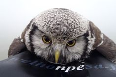 Adorable water-logged owl is rescued by kind kayaker in Finland. The owl apparently tried to snuggle in the man's life jacket for warmth! Cue the squees.
