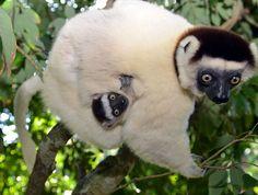 Sifaka lemurs are very inquisitive. J. Gajowniczek photo.  From Spirifer Minerals