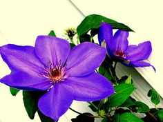 Purple Clematis Have these along my fence in several different colors love them