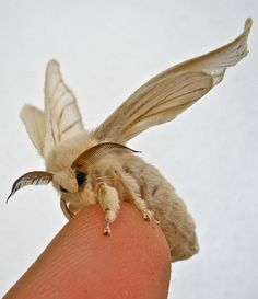 the-moth-princess: Bombyx mori Best Picture For Arthropods For Your Taste You are looking for someth Beautiful Bugs, Beautiful Butterflies, Venezuelan Poodle Moth, Silkworm Moth, Cool Bugs, Moth Caterpillar, Bugs And Insects, Chenille, Beautiful Creatures