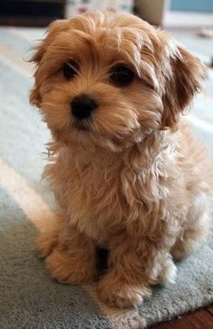 Cavapoo is a mix breed that are result of breeding between Cavalier King Charles Spaniel and Poodle. Cavapoo are cheerful dogs that get along very well with children and new dog owner. They are ranked as 4th Ideal dog breed for small apartments.: