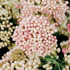 Rose Riceflower (Ozothamnus diosmifolius) must be ordered..can not grow