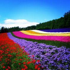 ラベンダー Lavender in Furano, Japan