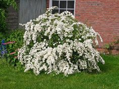 """Spiraea vanhouttei, 6 x 5. Much like 'snowmound' but larger. Tiny white flowers (each to 1/3"""" diameter) appear in late April to May in umbellate clusters (to 2"""" wide) that profusely cover the leafy branching. Small, rhombic to obovate, coarsely serrate, dark blue-green leaves (to 1.5"""" long) may have or at least suggest 3-5 lobes. Fall color is usually undistinguished, but attractive purplish hues may sometimes develop."""