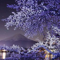 Night Sakura and Mount Fuji......... by Makoto Hashimuki