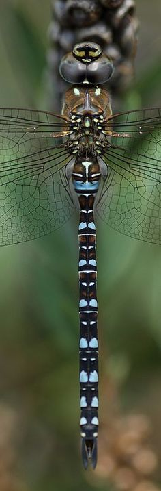 Migrant hawker dragonfly panorama by Lord V Flying Insects, Bugs And Insects, Beautiful Creatures, Animals Beautiful, Foto Macro, Dragonfly Insect, Dragonfly Tattoo, Cool Bugs, A Bug's Life