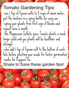Tomato Gardening Tips: High Yield Tomatoes Using Epsom Salt