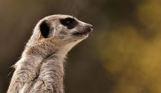 The meerkat belongs to the mongoose family. Nope, they aren't cats at all. They live in semi-arid and arid deserts in western and southern Namibia, southwestern Botswana, and north and west South Africa. While they don't sing songs about life or make friends with warthogs or especially lions, they are sociable with each other. These cute critters can be seen in large groups, called mobs or gangs, of up to 40+ #Africa #African #burrow #family #gang #groom #grooming #insectivore #meerkat